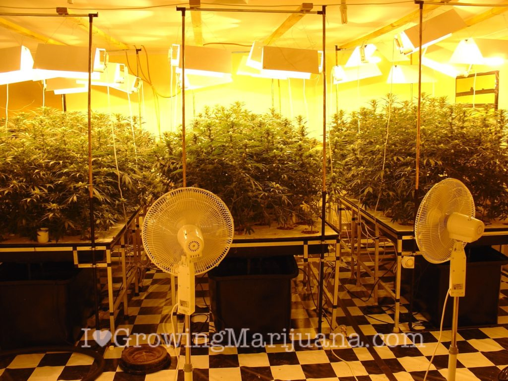 I love marijuana hydroponic weed