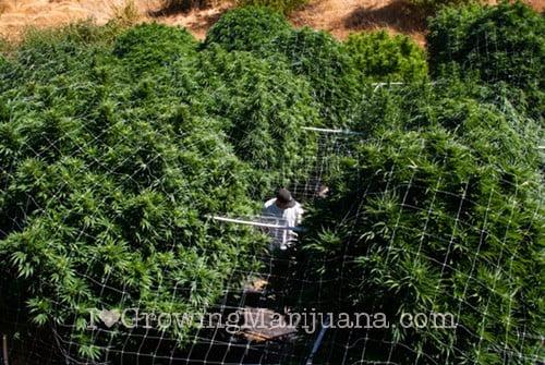 I love marijuana micro nutrients