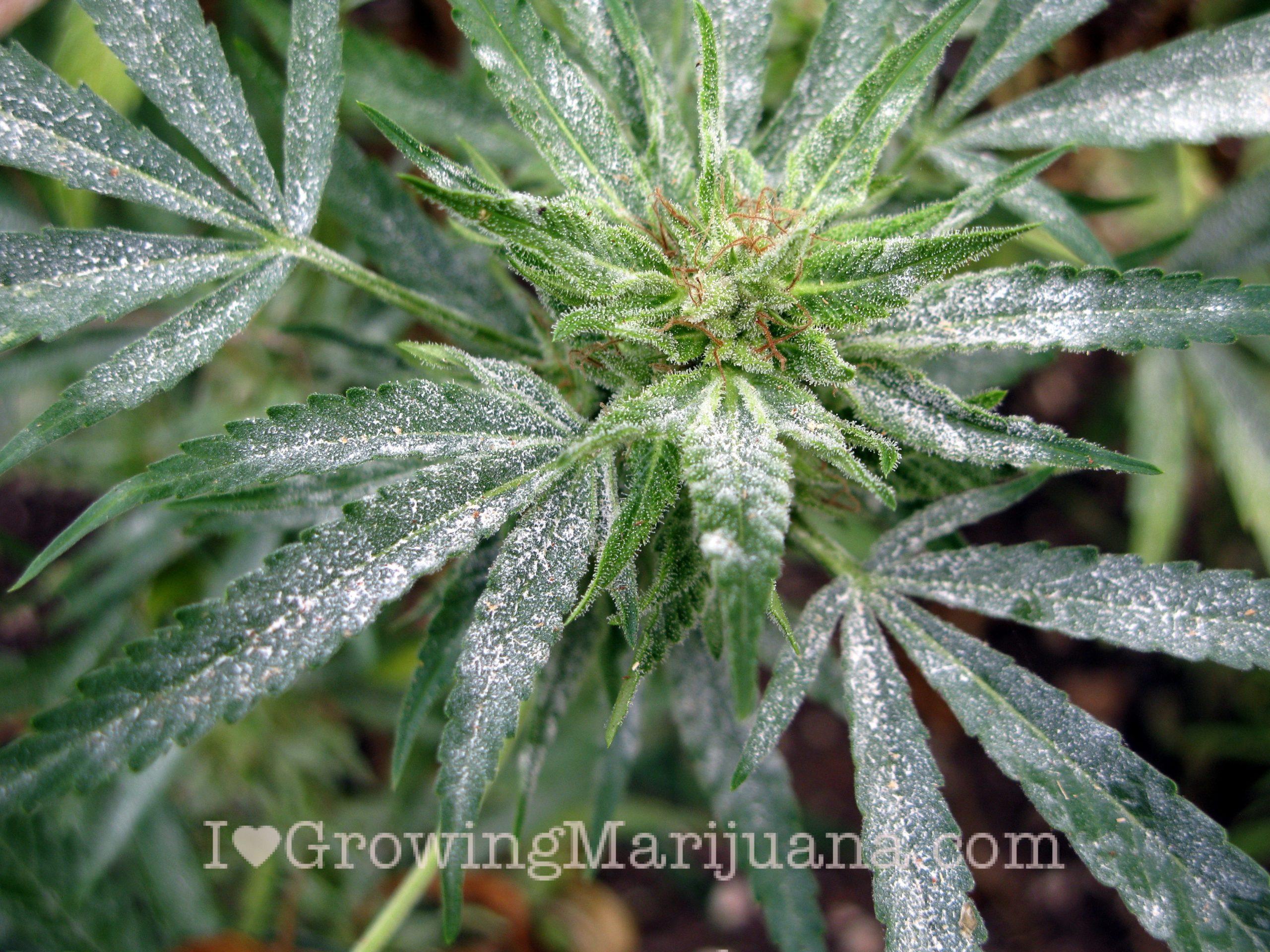 Cannabis molds powdery mildew mold control