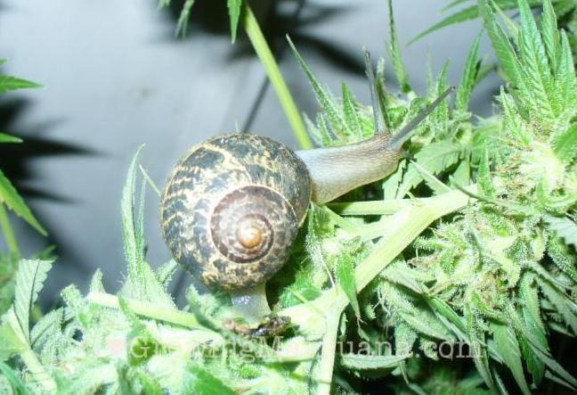 Cannabis snails slugs bug blaster