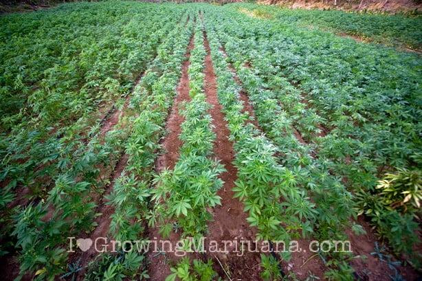 I love marijuauna soil problems