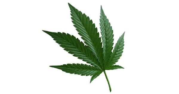 indica marijuana type leaf