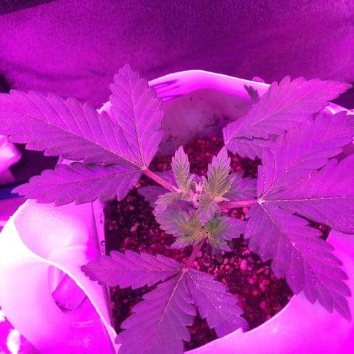 strawberry-kush-growing-healthy