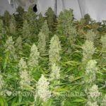 K2 marijuana