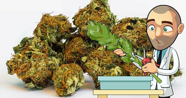 Large Cannabis Yield