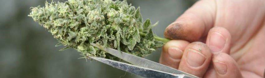 leftover cannabis trim