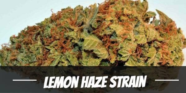 Lemon Haze Strain