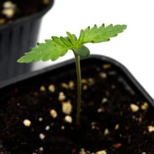 day 8 seedling