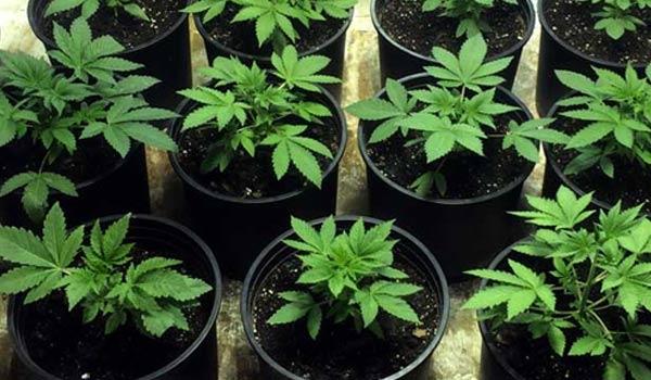 The Vegetative Stage of Marijuana Plants