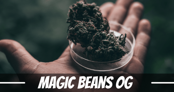 magic-beans-og