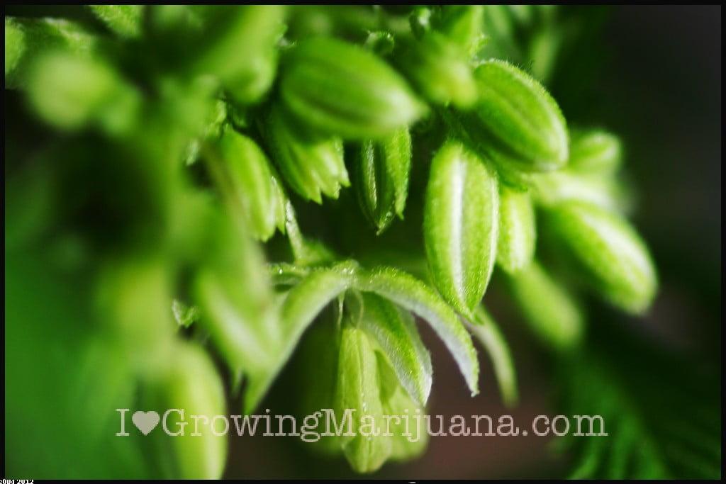 Male cannabis flower