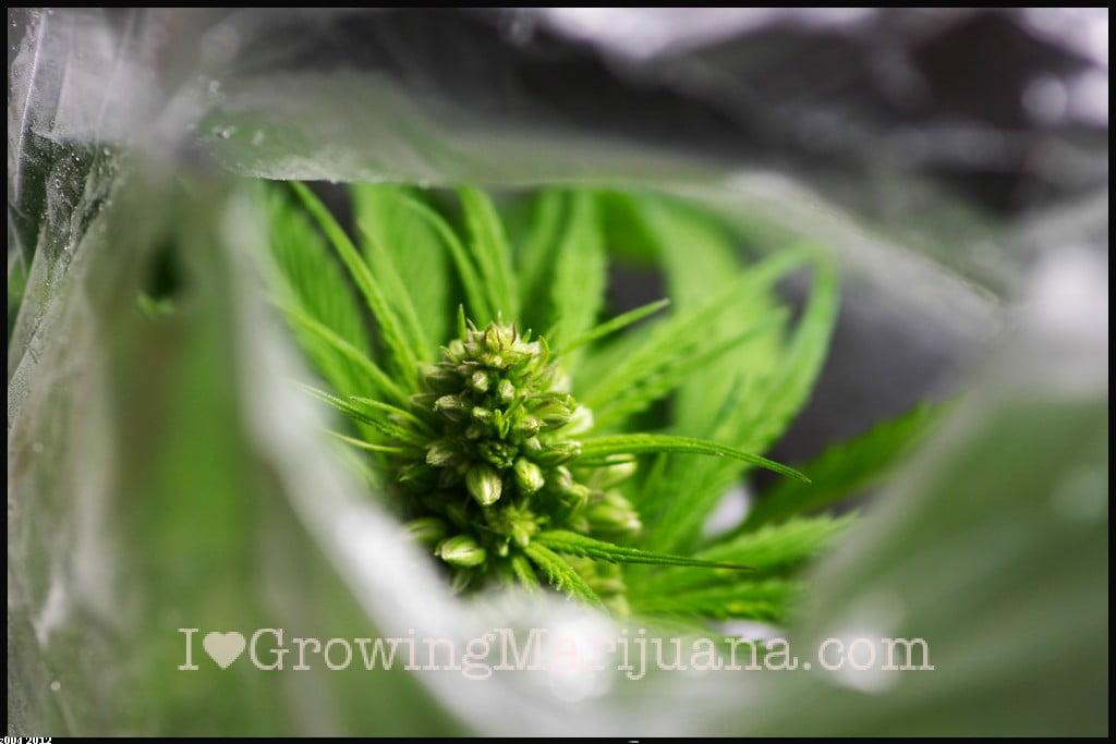 Male marijuana photo