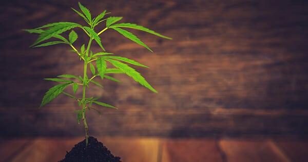 a young marijuana plant growing indoors