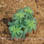 Marijuana dried out soil