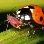 Cannabis garden predator mites