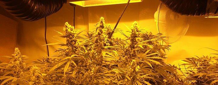 marijuana genetic experiments