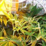 Marijuana leaves burned