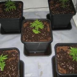 marijuana light cycle 11
