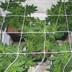 marijuana light cycle 21