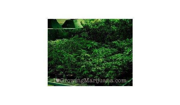 marijuana light cycle