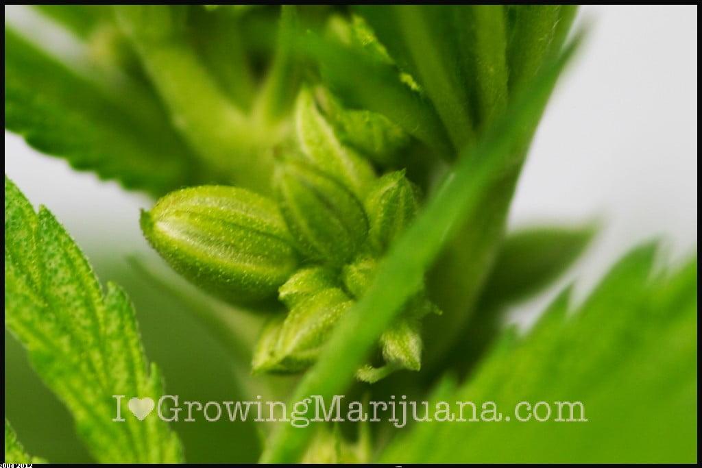 Marijuana pictures os males