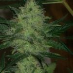 Marijuana plant pictures
