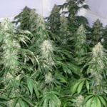 Marijuana weed cannabis pot size