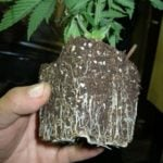 What pot size weed plants