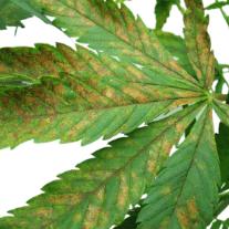 stressed our marijuana