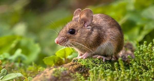 Rats mice on weed plants
