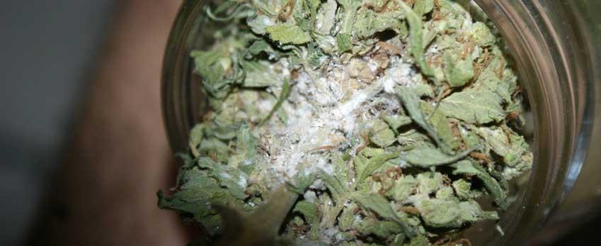 Mold on your marijuana