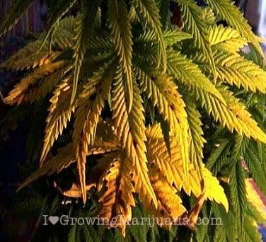 molybdenum deficiencies in cannabis plants