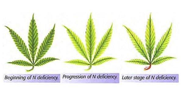 Nitrogen Deficiency leafs explanation