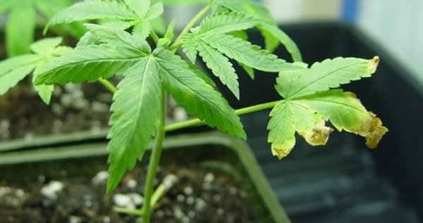 Nitrogen deficiency vegetative state