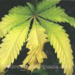 Nitrogen marijuana plant fixes