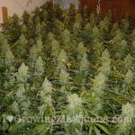 NLX marijuana
