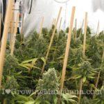 NLX cannabis