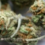Northern light cannabis pictures