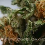 Northern light marijuana picture
