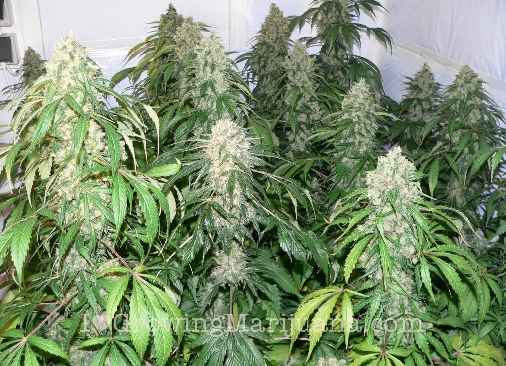 Indoor Marijuana Fields Picture Gallery