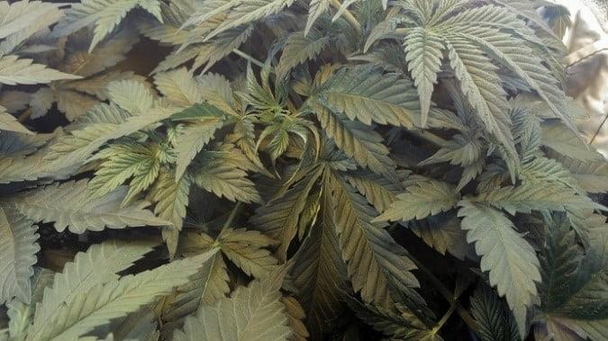marijuana fan leaves