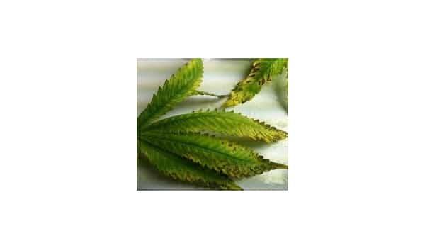 nutrient problems leaves marijuana