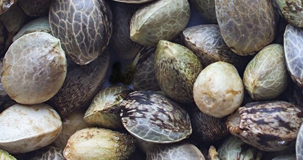 Regular Feminized Autoflower Seeds