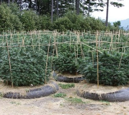 how to grow weed in soil