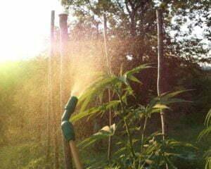 outdoor humidity cannabis