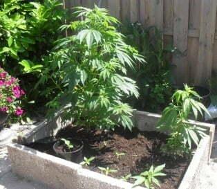 Outdoor soil cannabis