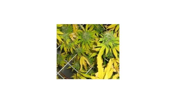 ph imbalance leaves marijuana
