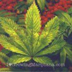 Phosphorus-marijuana-plant-fixes