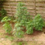 Plant guide corn cannabis