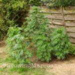 Plant guide corn marijuana